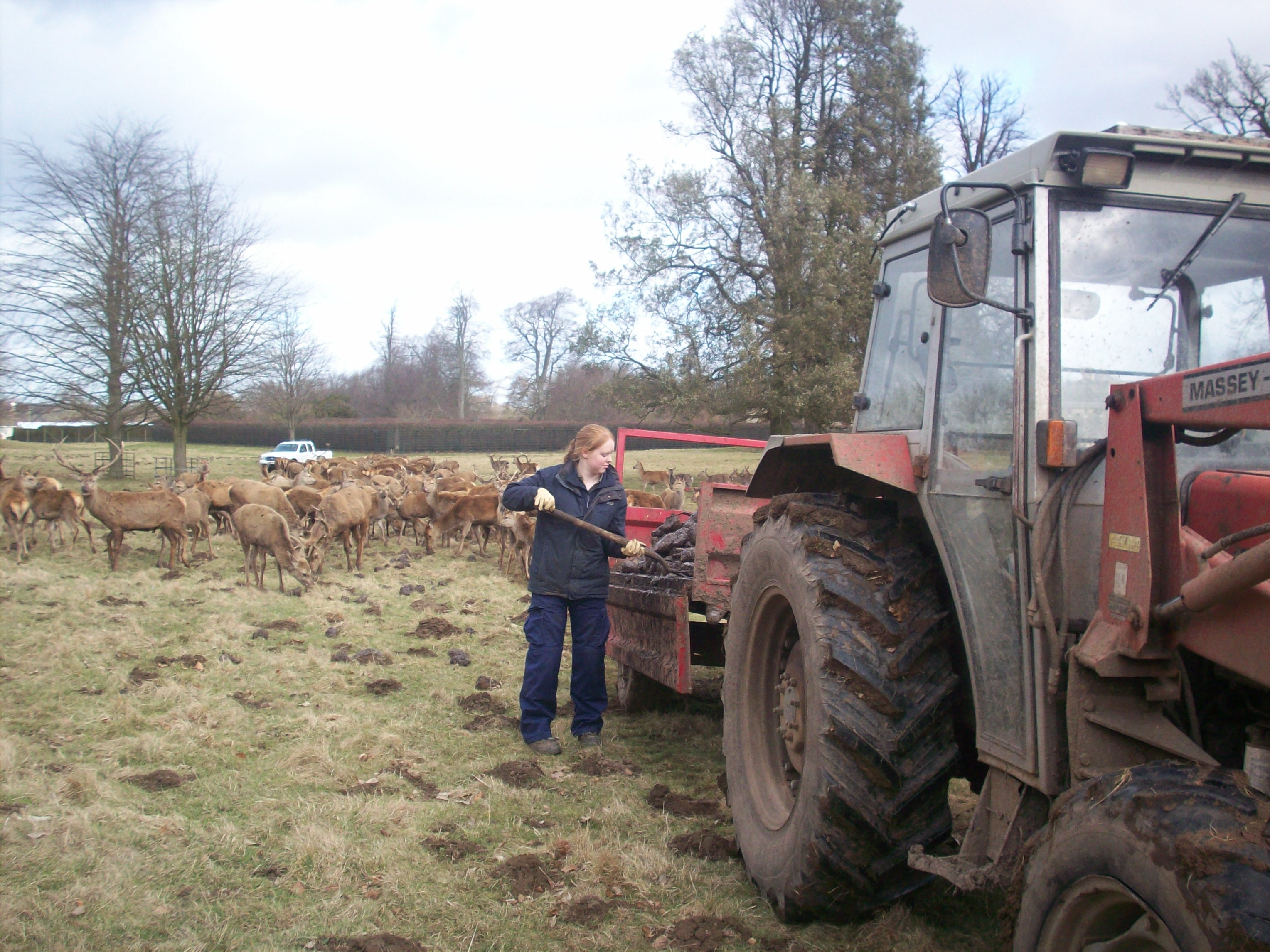 Feeding deer with fodderbeat and hay