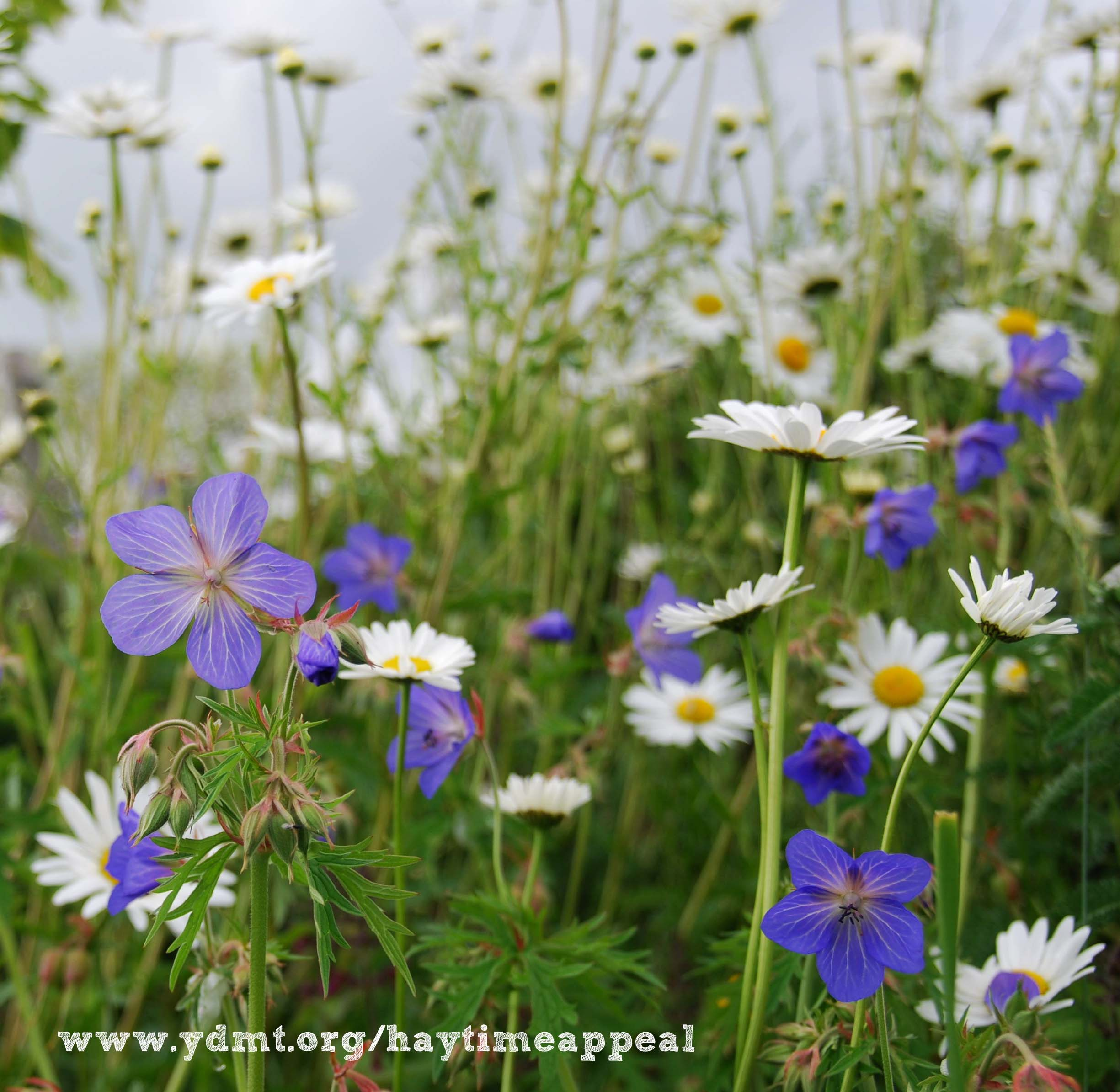 One hay meadow can support up to 120 species of plants, please help us save them www.ydmt.org/haytimeappeal