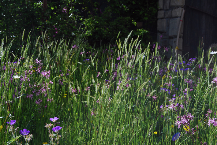 Species-rich hay meadows are at risk of disappearing in the UK a threat to the hundreds of species of wildlife they support