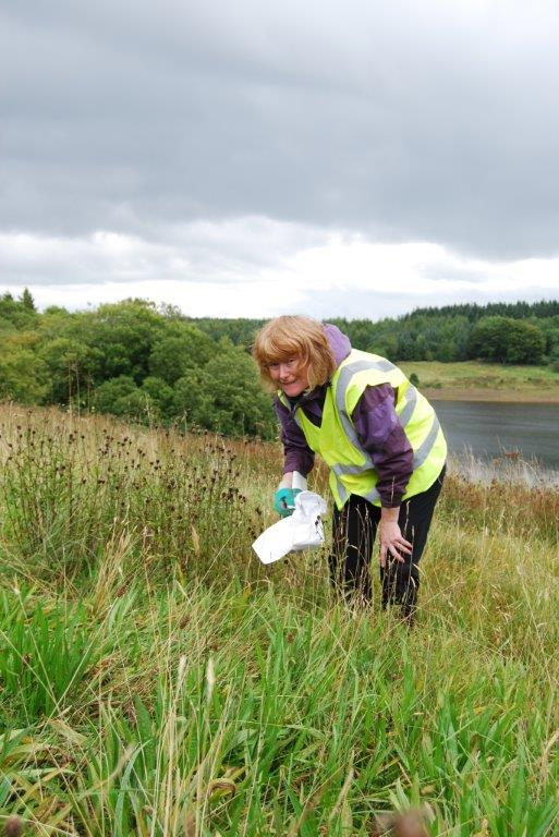 Catherine Smith from Dales Holiday Cottages hand collects seed that will be used to restore native wildflower species to degraded meadows